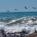 Brown pelicans cruising the beach.- Arroyo de los Frijoles Beach