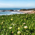 Ice plant in bloom in Bean Hollow.- Arroyo de los Frijoles Beach