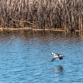 Bufflehead duck coming in for a landing.- Pescadero Marsh Natural Preserve