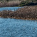 Bird life is abundant in the estuary.- Pescadero Marsh Natural Preserve