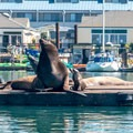 Sea lion mother and pup hanging out in the harbor.- Morro Bay Harbor