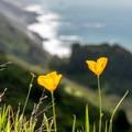 California poppies.- Kirk Creek / Vicente Flat Trail