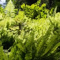 Five species of fern inhabit Fern Canyon in Prairie Creek Redwoods State Park.- Fern Canyon