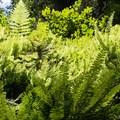 Five species of fern inhabit Fern Canyon in Prairie Creek Redwoods State Park.- Fern Canyon