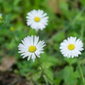 Erigeron divergens (Diffuse daisy).- Fort Yamhill State Heritage Area