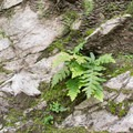 Fern.- Sturtevant Falls from Chantry Flat