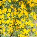 Spanish broom.- Sturtevant Falls from Chantry Flat