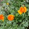 California poppy.- Millard Falls Hike
