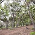 Canopy of oaks.- Chantry Flat Recreation Area