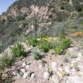 Small native plant garden.- Rubio Canyon