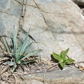 Succulents along the trail.- Rubio Canyon