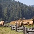 Prairie Creek Redwoods State Park's Roosevelt elk are frequently spotted in the park meadows near the visitor center.- Prairie Creek Roosevelt Elk