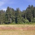 Redwoods surround Elk Prairie.- Prairie Creek Roosevelt Elk