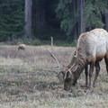 Roosevelt Elk with their winter coats in Elk Meadow.- Prairie Creek Roosevelt Elk