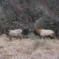 Prairie Creek Roosevelt Elk.- Prairie Creek Roosevelt Elk