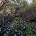 A part of the trail goes upstream through brambles.- Panamint City