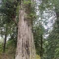 Big Tree, Prairie Creek Redwoods State Park.- Redwood National + State Parks