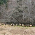 Herd of Roosevelt Elk in Elk Meadow, Prairie Creek Redwoods State Park.- Redwood National + State Parks