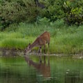 A young deer drinks from the lake at dusk.- Canyon Creek Lakes