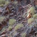 One of the resident bighorn sheep.- Goldstrike Hot Springs