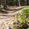 Wildflowers on the South Rim.- Whetstone Gulf Rim Trail