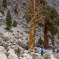 Old-growth trees along the Meysan Lake Trail. - Meysan Lake Trail