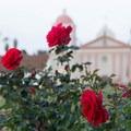 Mission Rose Garden.- Old Mission Santa Barbara