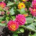 Lantana blooms in the Butchart Gardens.- The Butchart Gardens