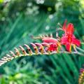 Crocosmia blooms in the Butchart Gardens.- The Butchart Gardens