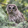 Owl in Beacon Hill Park.- Beacon Hill Park