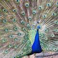 Peacock in Beacon Hill Park.- Beacon Hill Park