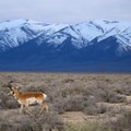 Pronghorn antelope near the hot springs.- Spencer Hot Springs