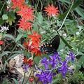 Wildflowers are more prevalent near the Purdon Crossing Trailhead.- South Yuba River Trail