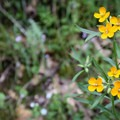 Unidentified species (help us identify it by providing feedback).- South Yuba River Trail