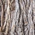Cottonwood along the Hidden Falls Trail.- Hidden Falls Snowshoe