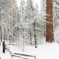 Impressed by the height of the old sequoias. - Tuolumne Grove Snowshoe