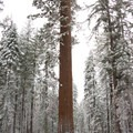 These trees dwarf all others.- Tuolumne Grove Snowshoe