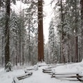 Heading toward one of the giant sequoias.- Tuolumne Grove Snowshoe