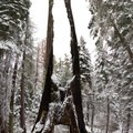An old destroyed sequoia can be walked through.- Tuolumne Grove Snowshoe