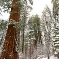 These trees make visitors feel very small.- Tuolumne Grove Snowshoe