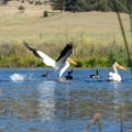 A pelican takes flight.- Baum Lake