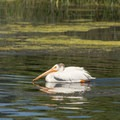 A smug looking pelican swims along.- Baum Lake