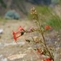 Scarlet gilia.- Swakane Canyon