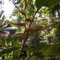 Bird of paradise (Strelitzia).- Cockscomb Basin Wildlife Sanctuary + Jaguar Preserve