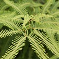 Tiger fern.- Cockscomb Basin Wildlife Sanctuary + Jaguar Preserve