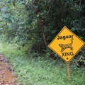 Jaguar crossing in the Cockscomb Basin Wildlife Sanctuary and Jaguar Preserve.- Cockscomb Basin Wildlife Sanctuary + Jaguar Preserve