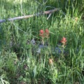 Wildflowers are abundant around the campground.- Alturas Lake Inlet Campground