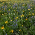 Mule's ear and lupine cover the campground in the early summer.- Sunrise Vista Campground