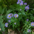 Showy daisy (Erigeron speciosus) is plentiful along the trail.- Grizzly Creek Trail