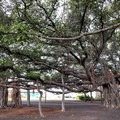 It's hard to imagine that one banyan tree can fill this entire park.- Banyan Tree Park
